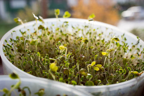 The Astonishing Health Benefits of Sulforaphane from Broccoli Sprouts