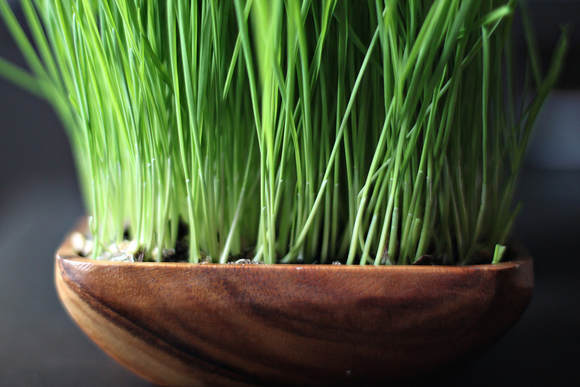 certified organic wheat grass sprouting seed