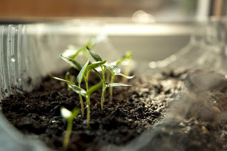 Sprouting Broccoli Seeds Can Be Easily Done Indoors