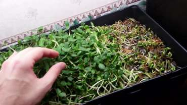 The Astounding Health Benefits of Growing Sunflower Sprouts