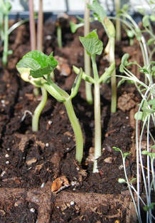 Growing Radish Sprouts for its Incredible Health Benefits
