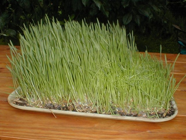 Using a Wheatgrass Juice Machine for Easy Juicing
